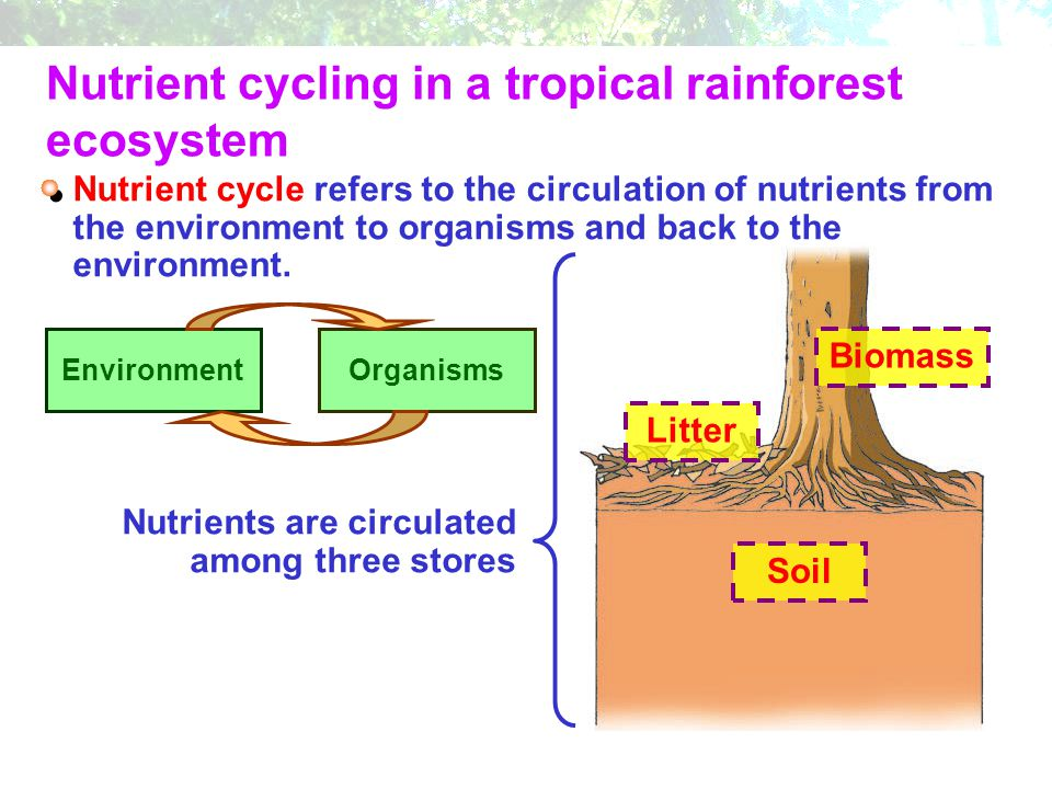 Nutrient cycling in a tropical rainforest ecosystem