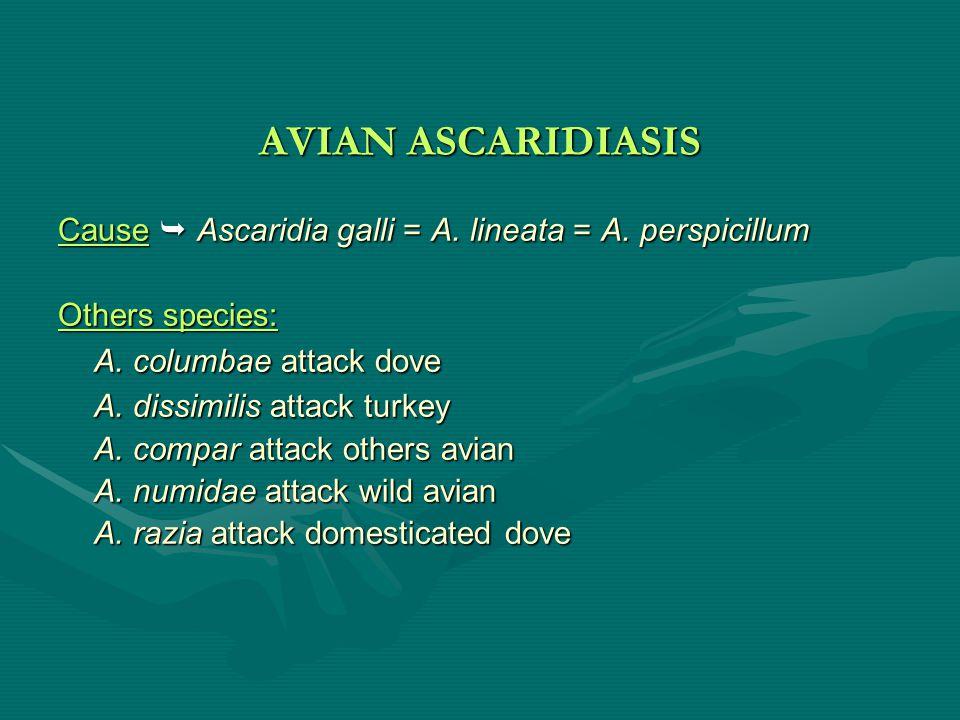 AVIAN ASCARIDIASIS A. columbae attack dove