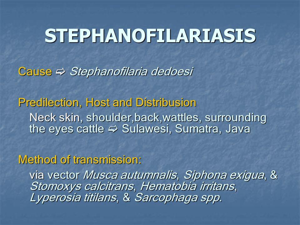 STEPHANOFILARIASIS Cause  Stephanofilaria dedoesi