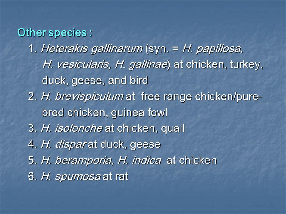 Other species : 1. Heterakis gallinarum (syn. = H. papillosa, H. vesicularis, H. gallinae) at chicken, turkey,
