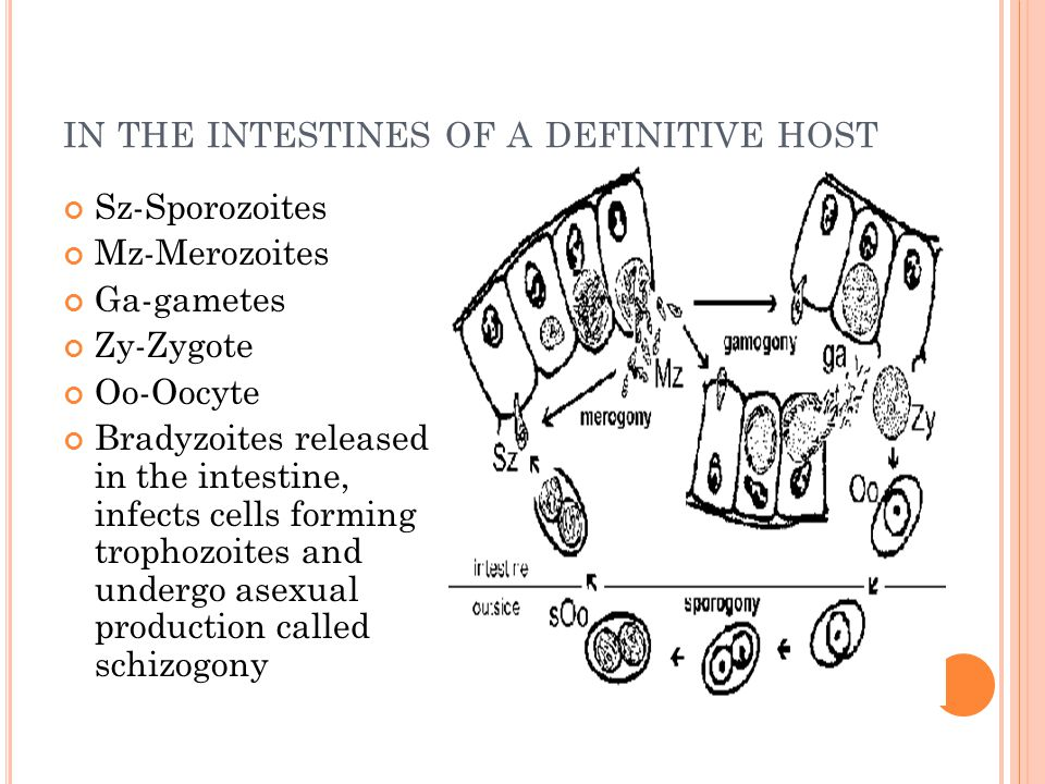 in the intestines of a definitive host