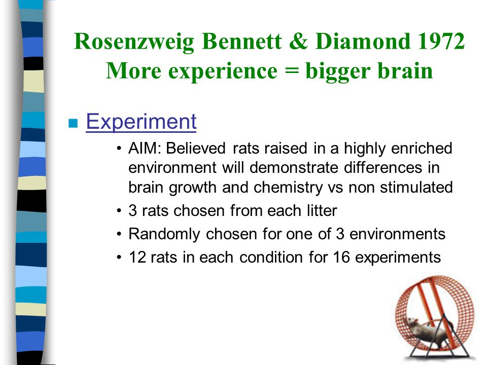 Rosenzweig Bennett & Diamond 1972 More experience = bigger brain