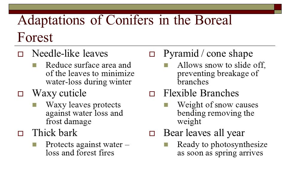 Adaptations of Conifers in the Boreal Forest