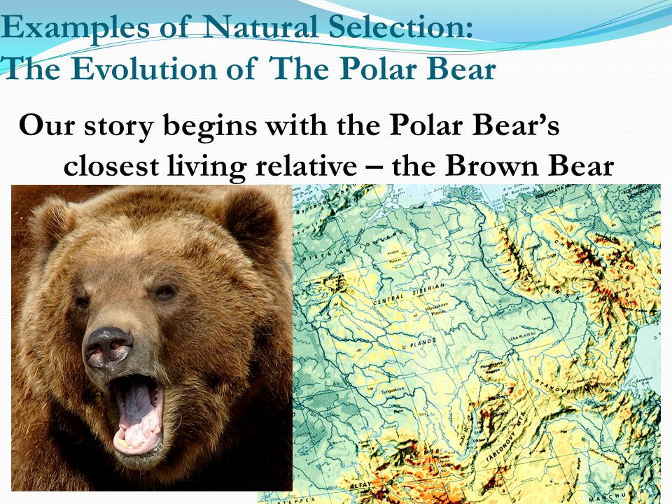 Examples of Natural Selection: The Evolution of The Polar Bear