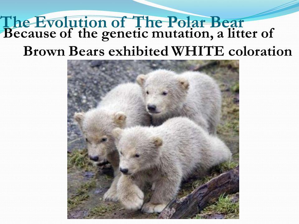 The Evolution of The Polar Bear