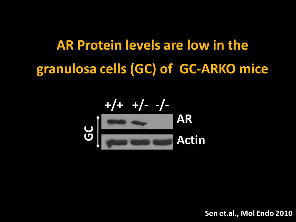 AR Protein levels are low in the granulosa cells (GC) of GC-ARKO mice