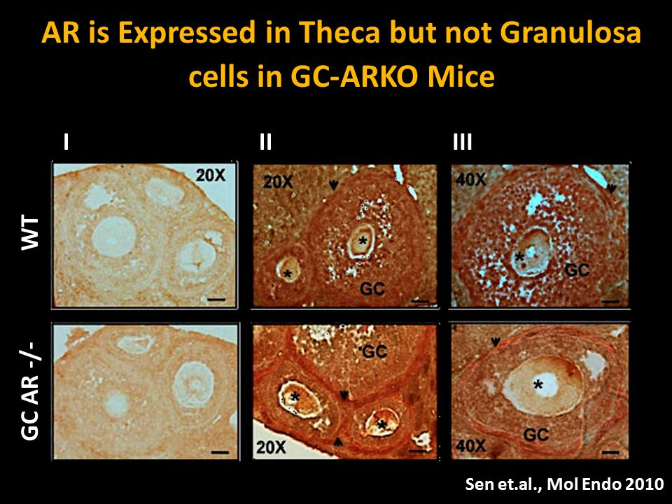 AR is Expressed in Theca but not Granulosa cells in GC-ARKO Mice