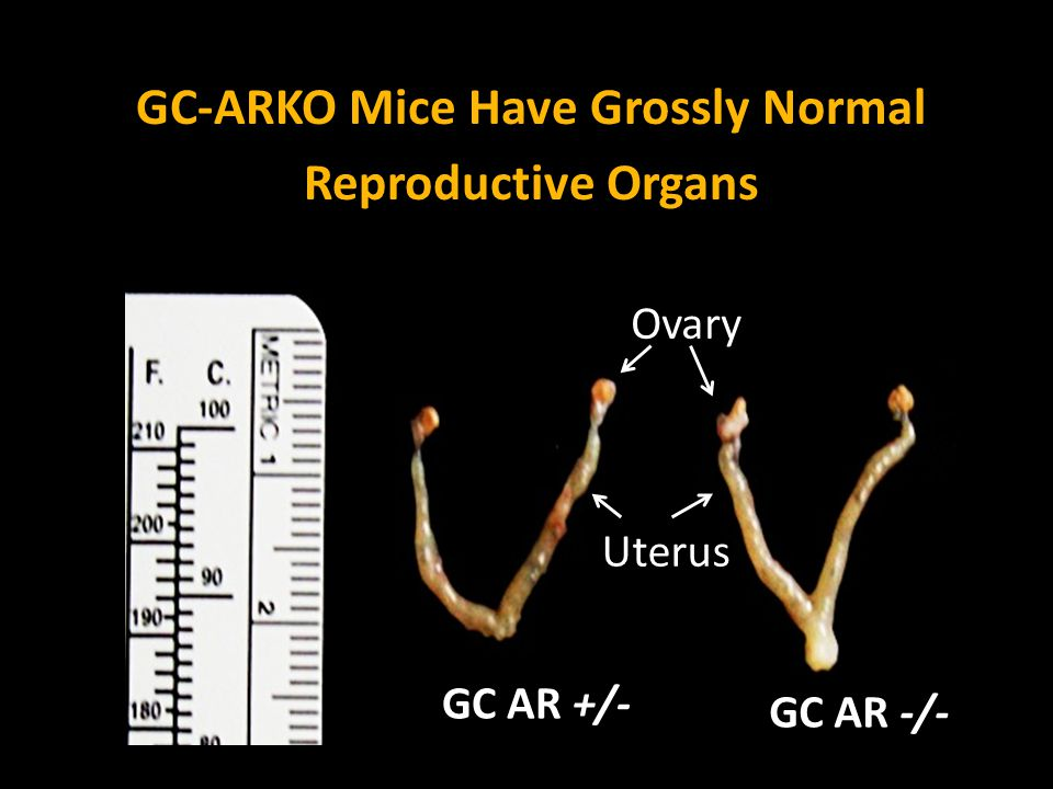 GC-ARKO Mice Have Grossly Normal Reproductive Organs