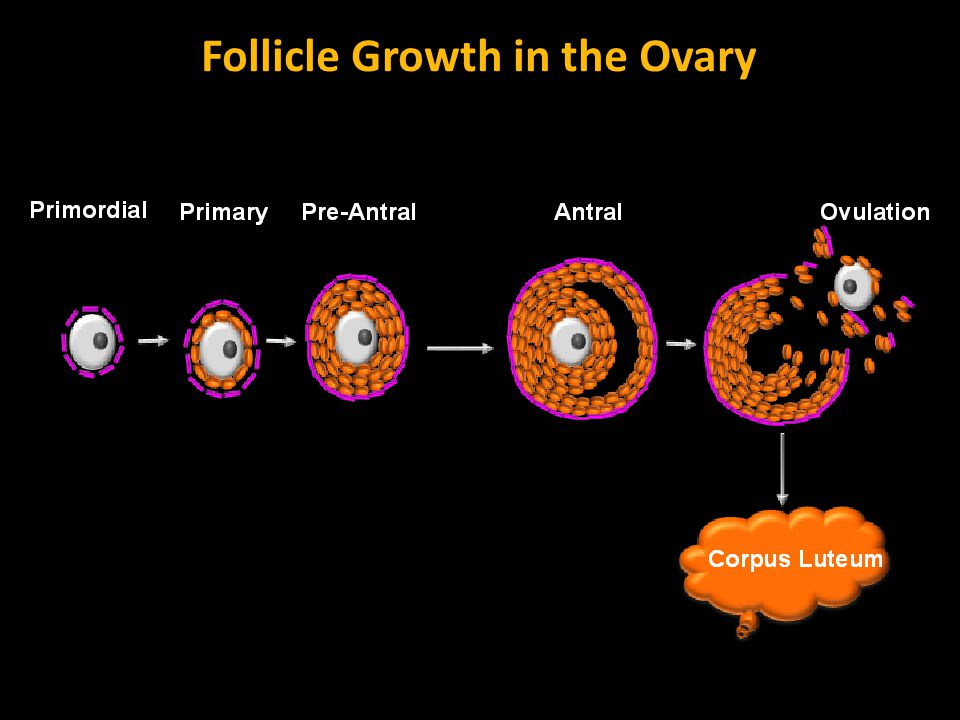 Follicle Growth in the Ovary