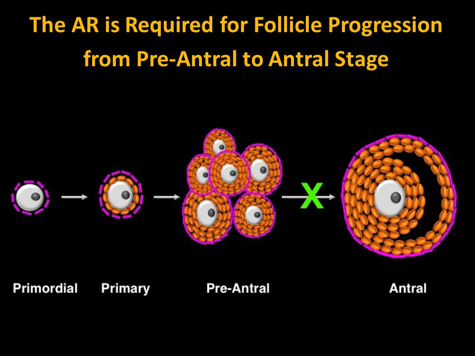 The AR is Required for Follicle Progression