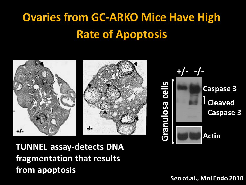 Ovaries from GC-ARKO Mice Have High