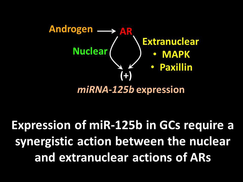 Androgen AR. Extranuclear. MAPK. Paxillin. Nuclear. (+) miRNA-125b expression.