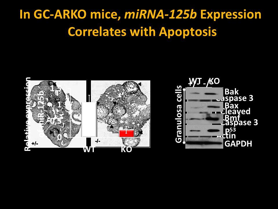 In GC-ARKO mice, miRNA-125b Expression Correlates with Apoptosis