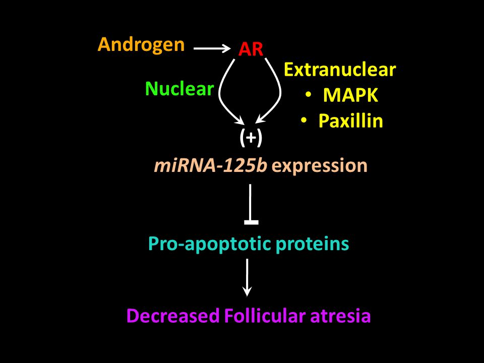 Androgen AR. Extranuclear. MAPK. Paxillin. Nuclear. (+) miRNA-125b expression. Pro-apoptotic proteins.