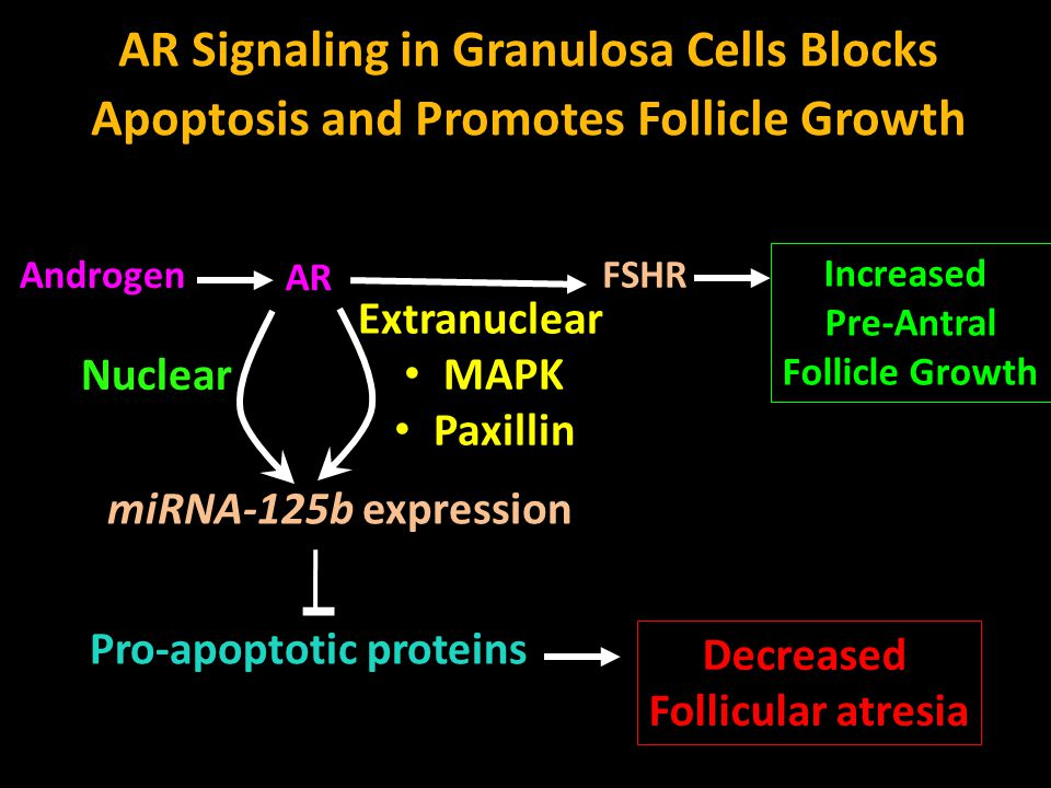 AR Signaling in Granulosa Cells Blocks Apoptosis and Promotes Follicle Growth