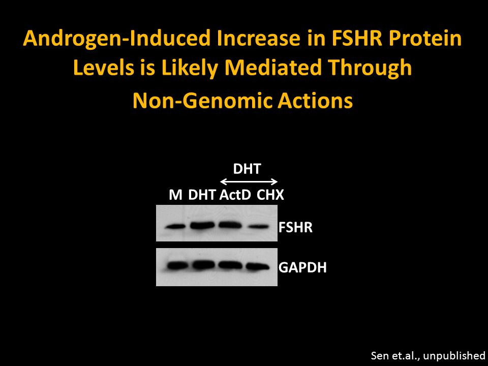 Androgen-Induced Increase in FSHR Protein Levels is Likely Mediated Through