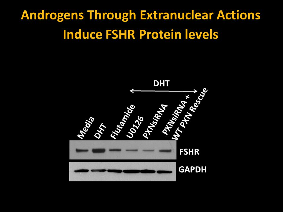 Androgens Through Extranuclear Actions Induce FSHR Protein levels