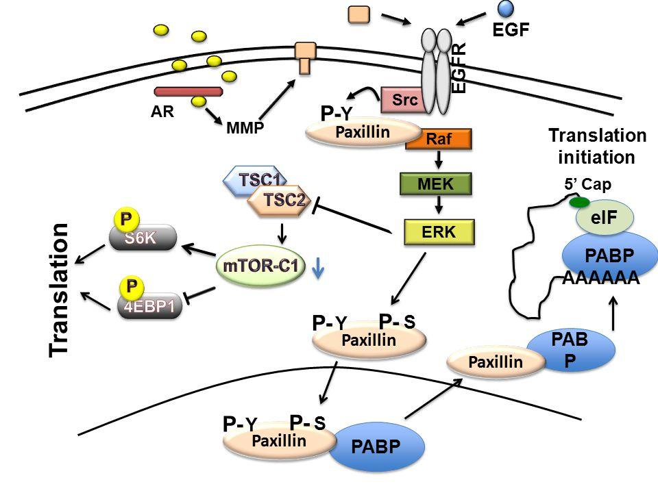 Translation P- P- P- EGF EGFR Y Paxillin Translation initiation eIF