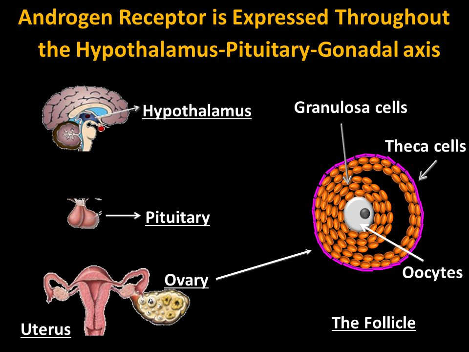 Androgen Receptor is Expressed Throughout