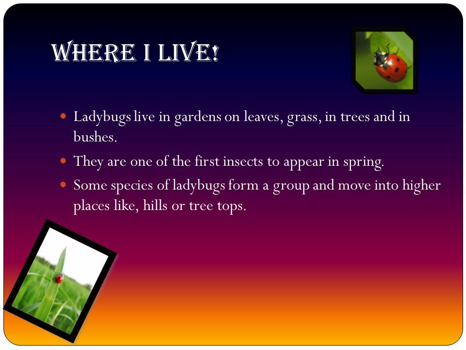 Where I live! Ladybugs live in gardens on leaves, grass, in trees and in bushes. They are one of the first insects to appear in spring.