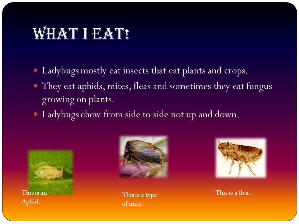What I eat! Ladybugs mostly eat insects that eat plants and crops.