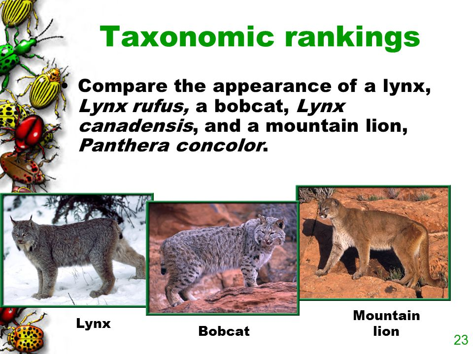 Taxonomic rankings Compare the appearance of a lynx, Lynx rufus, a bobcat, Lynx canadensis, and a mountain lion, Panthera concolor.