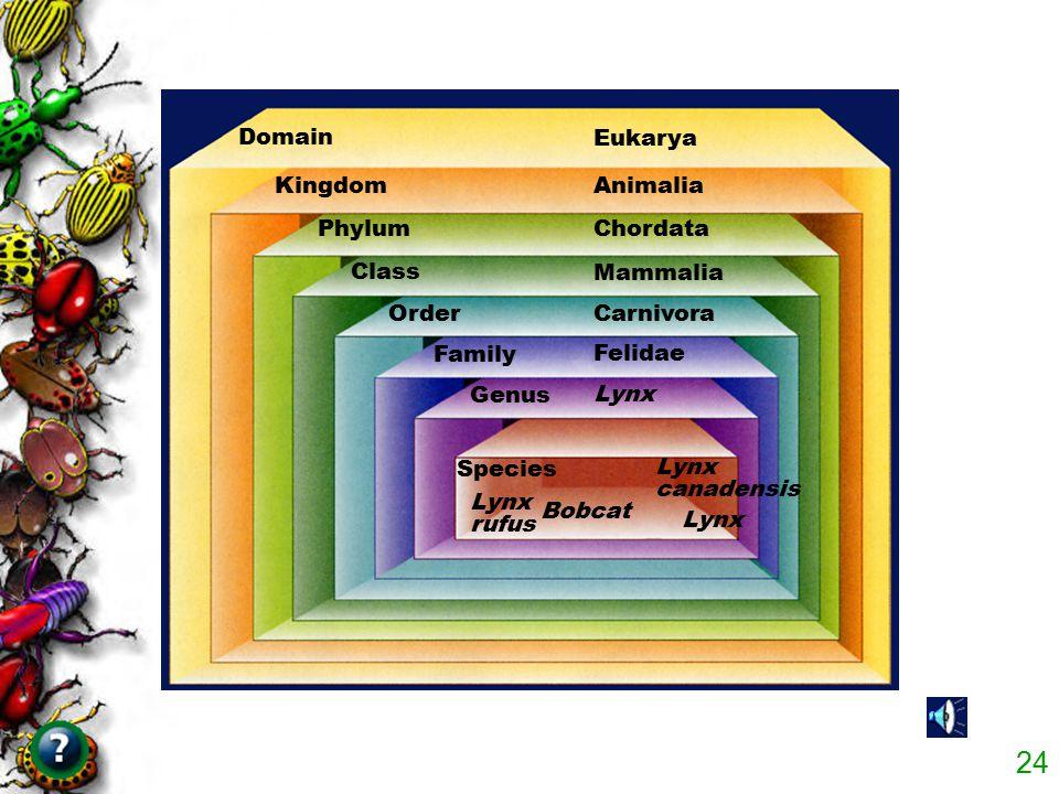 Domain Eukarya. Kingdom. Animalia. Phylum. Chordata. Class. Mammalia. Order. Carnivora. Family.
