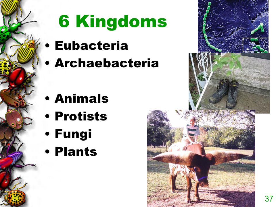 6 Kingdoms Eubacteria Archaebacteria Animals Protists Fungi Plants