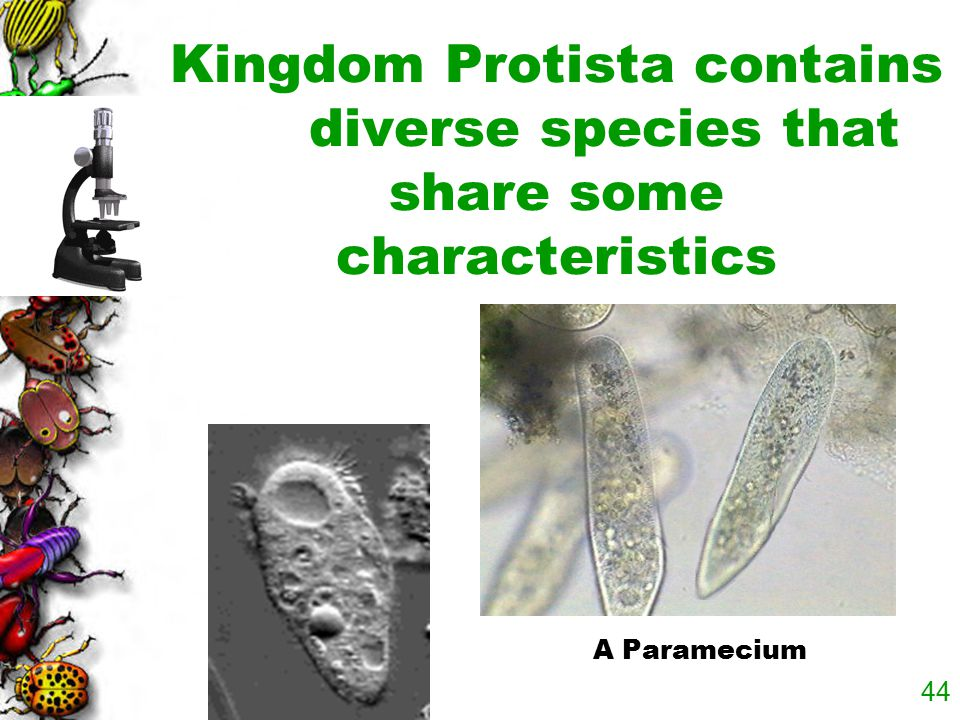 Kingdom Protista contains