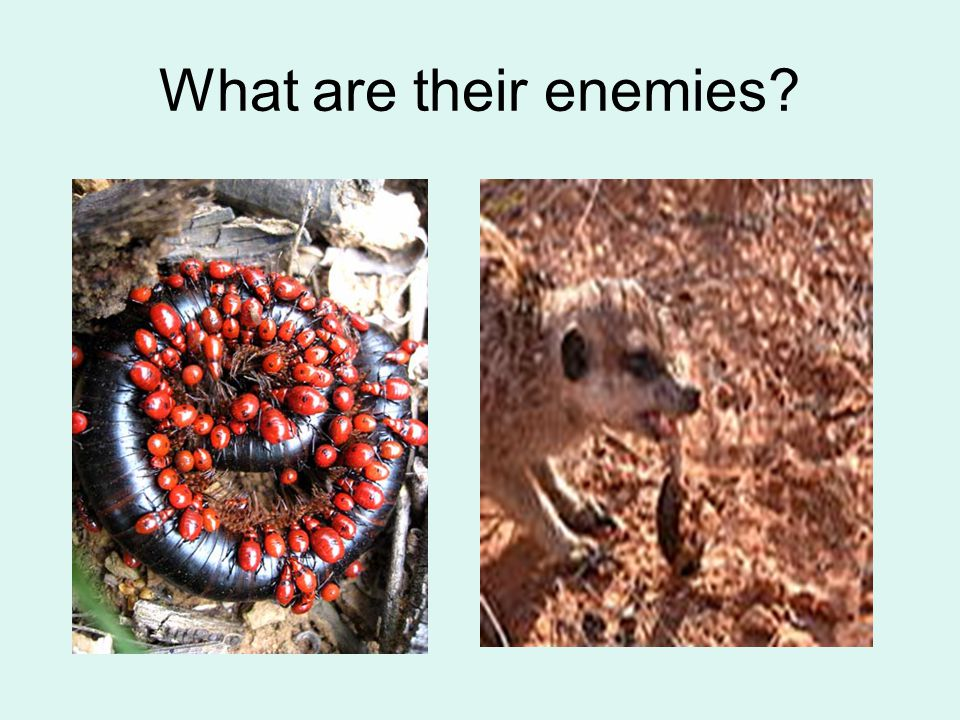 What are their enemies