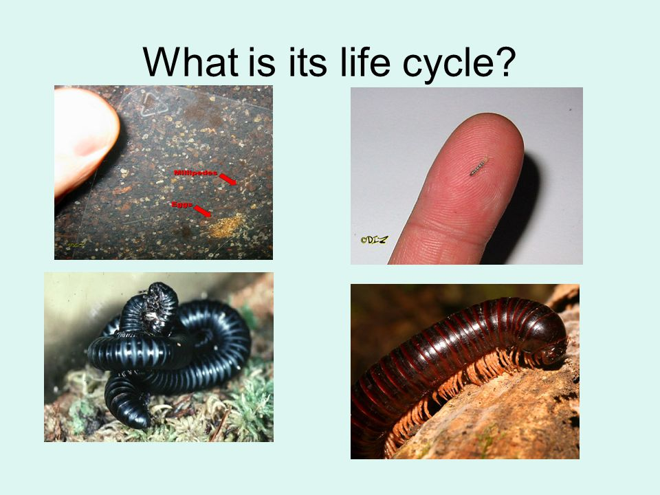 What is its life cycle