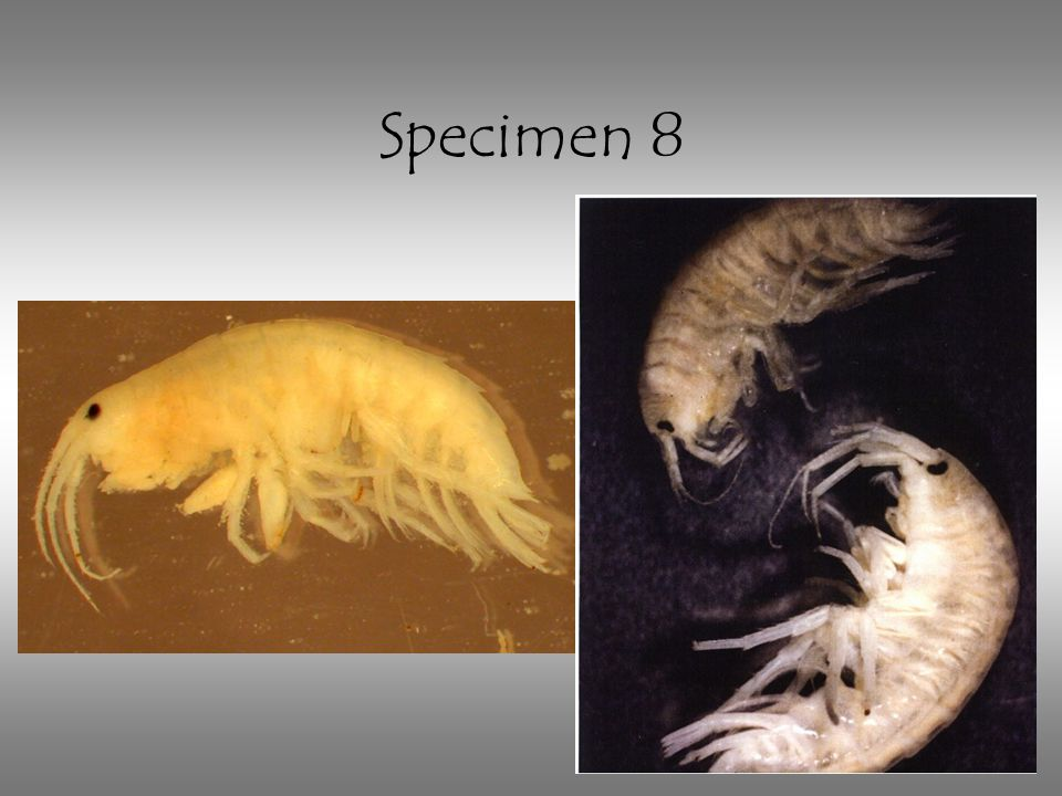 Specimen 8 Scud: note more than 6 legs, curled, shrimp-like, flattened side to side