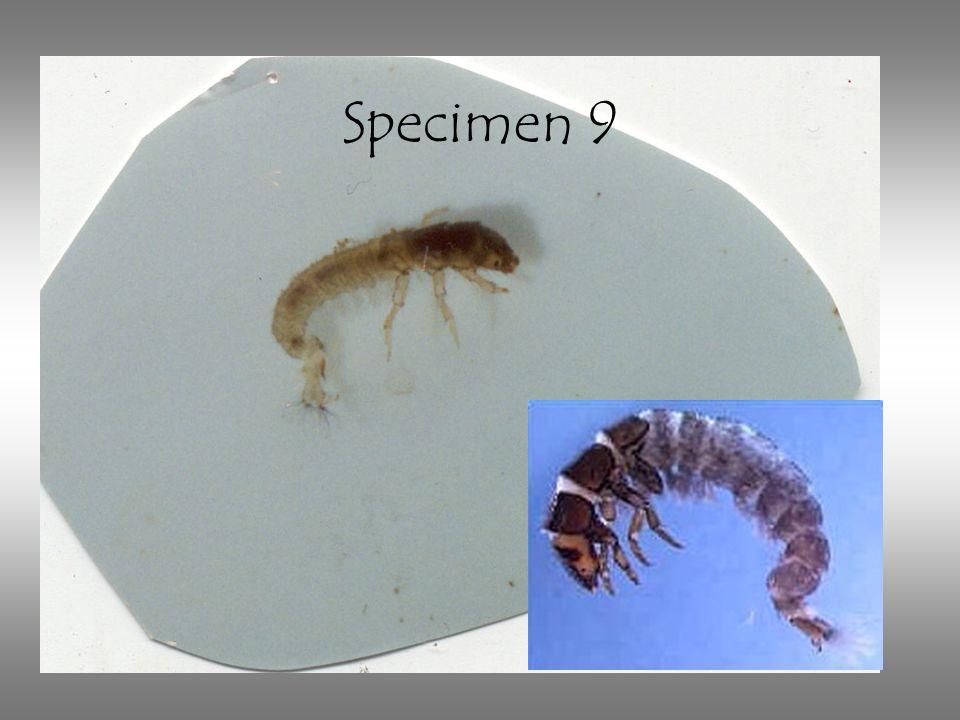 Specimen 9 Net-spinning caddisflies.