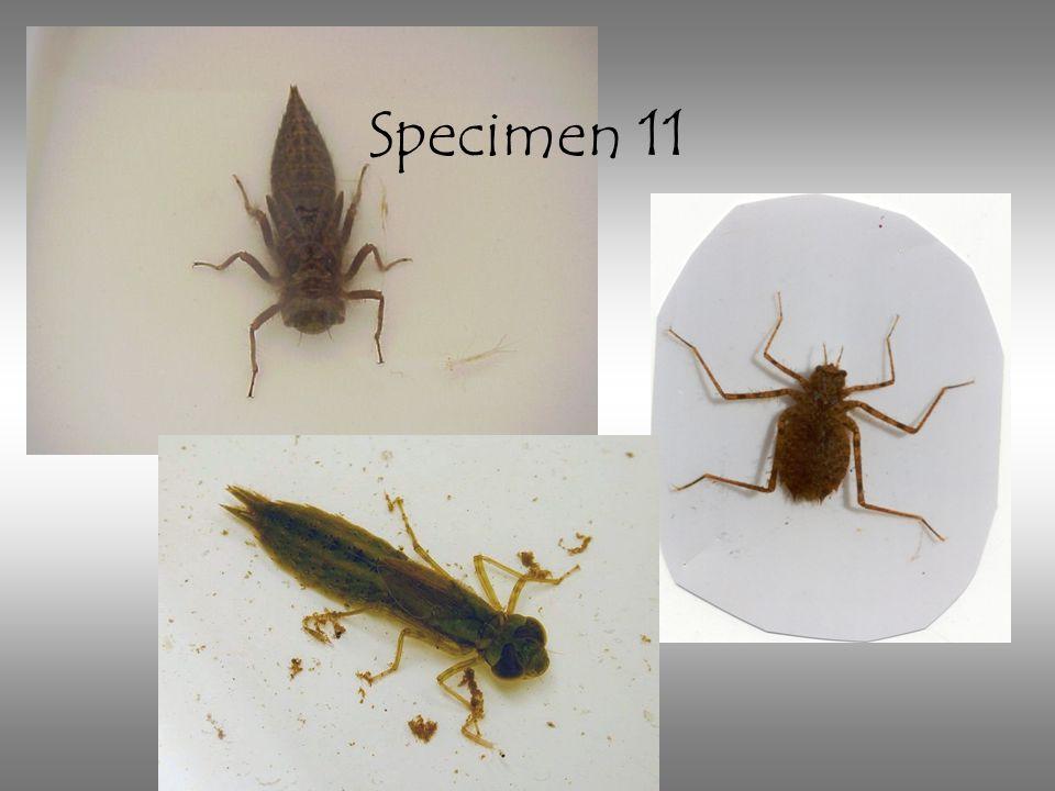 Specimen 11 Dragonfly larva: note the tiny three tails and variable body shapes.