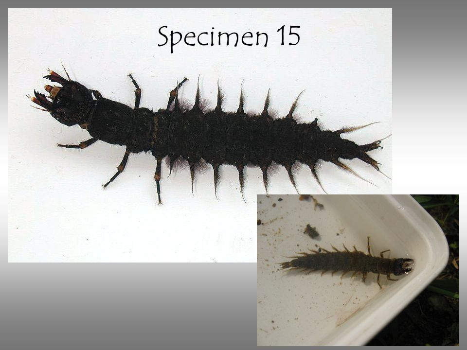 Specimen 15 Fish fly larva. Note the lateral filaments, or fake legs.