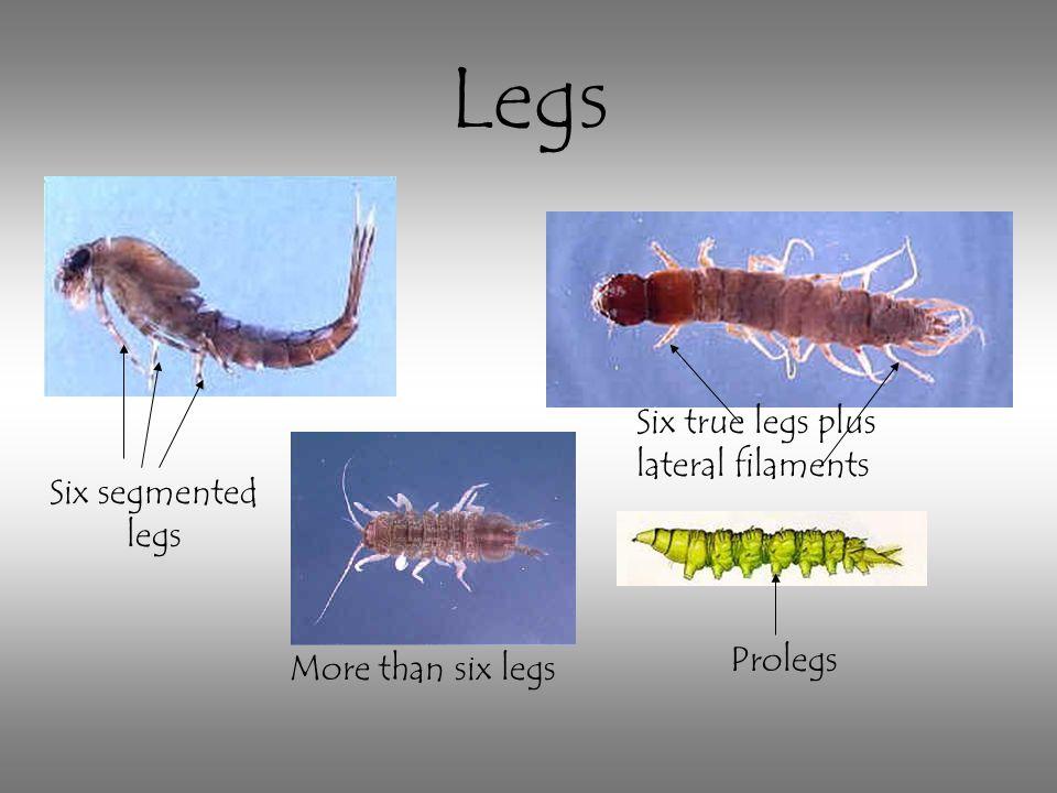 Legs Six true legs plus lateral filaments Six segmented legs Prolegs