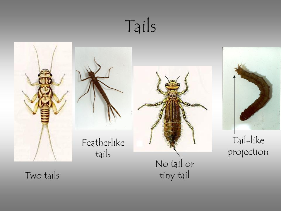 Tails Tail-like projection Featherlike tails No tail or tiny tail
