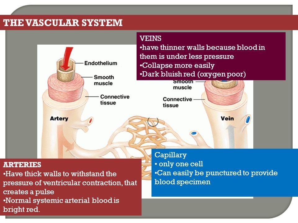THE VASCULAR SYSTEM VEINS