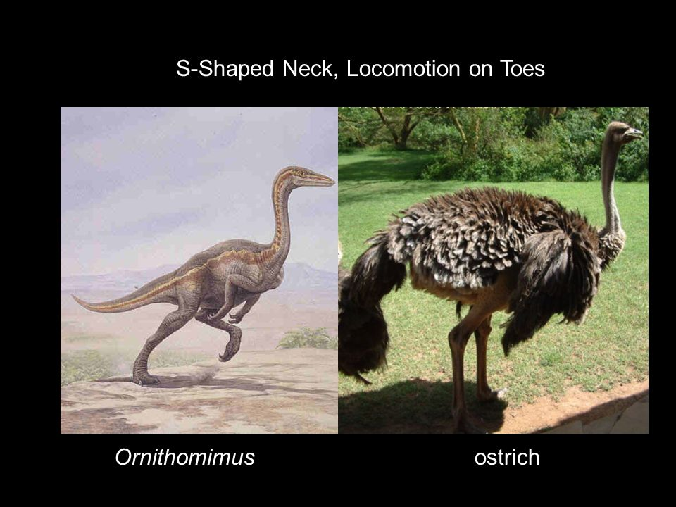 S-Shaped Neck, Locomotion on Toes