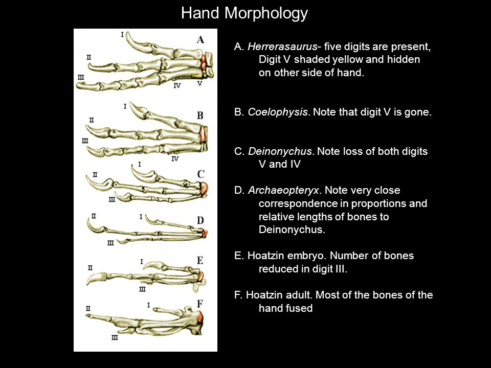 Hand Morphology A. Herrerasaurus- five digits are present, Digit V shaded yellow and hidden on other side of hand.