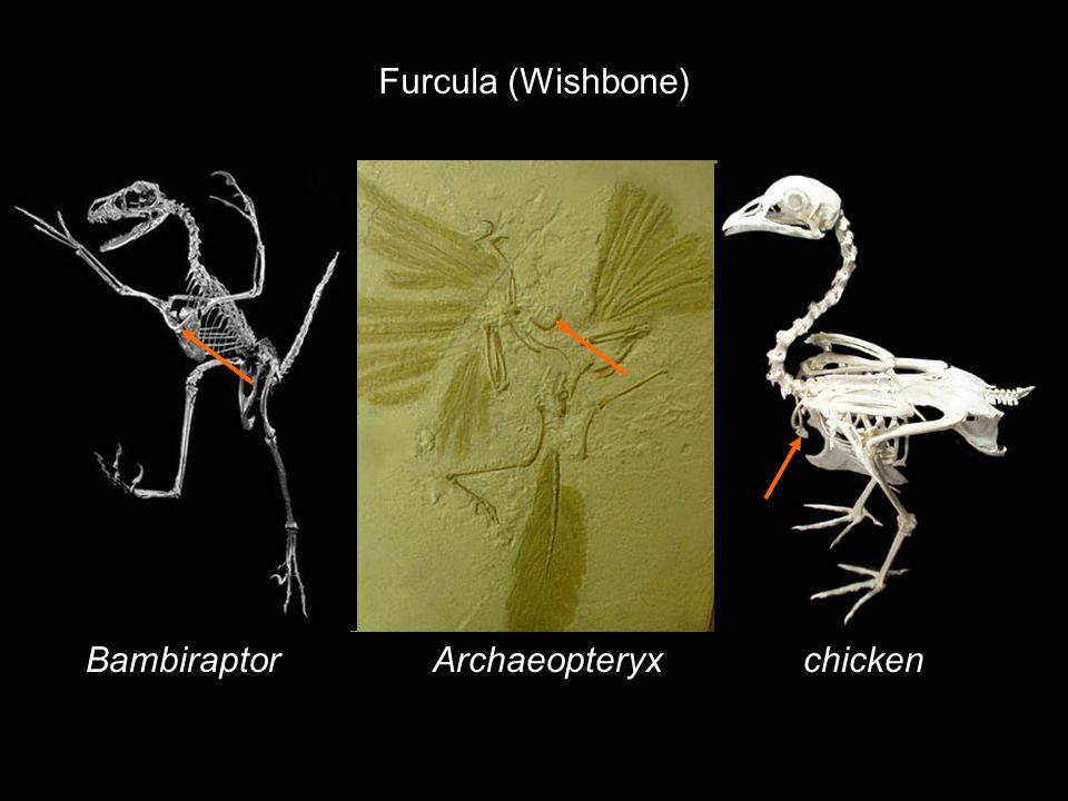 Furcula (Wishbone) Bambiraptor Archaeopteryx chicken