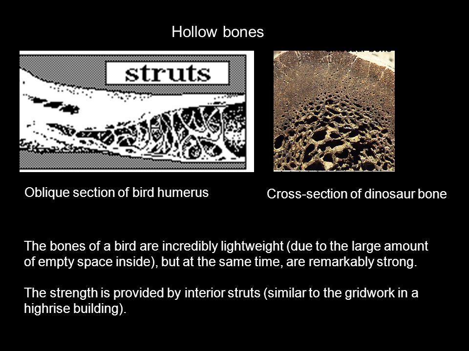 Hollow bones Oblique section of bird humerus