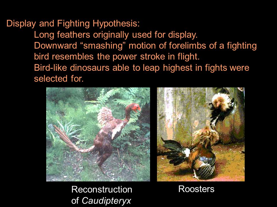 Display and Fighting Hypothesis: