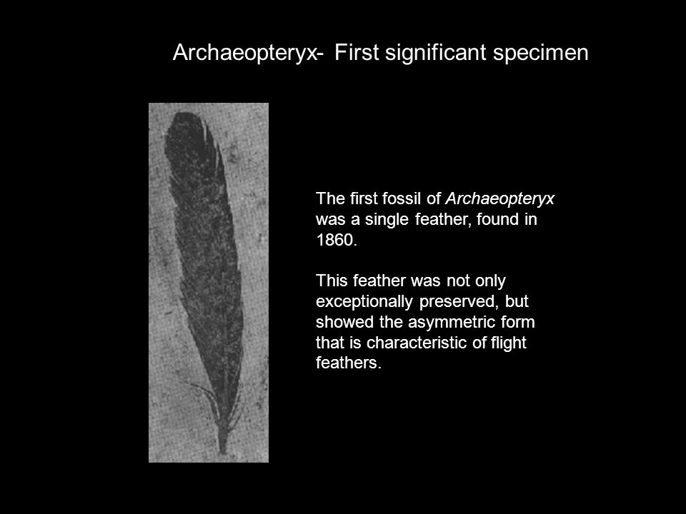 Archaeopteryx- First significant specimen