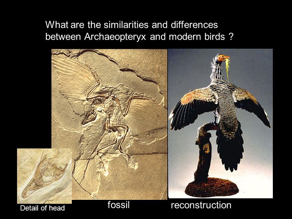 What are the similarities and differences between Archaeopteryx and modern birds
