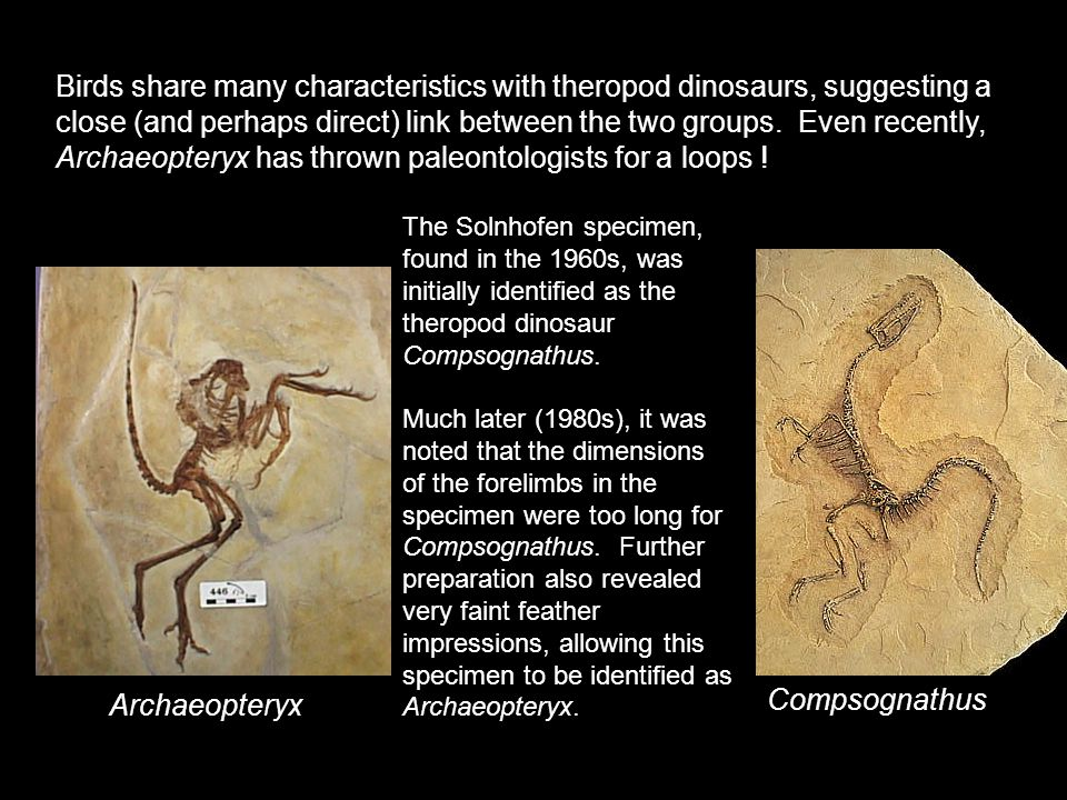 Birds share many characteristics with theropod dinosaurs, suggesting a close (and perhaps direct) link between the two groups. Even recently, Archaeopteryx has thrown paleontologists for a loops !