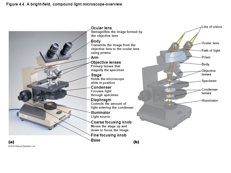 Figure 4.4 A bright-field, compound light microscope-overview