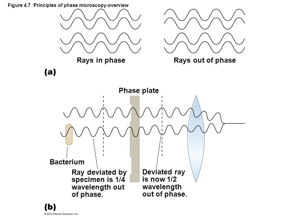 Figure 4.7 Principles of phase microscopy-overview