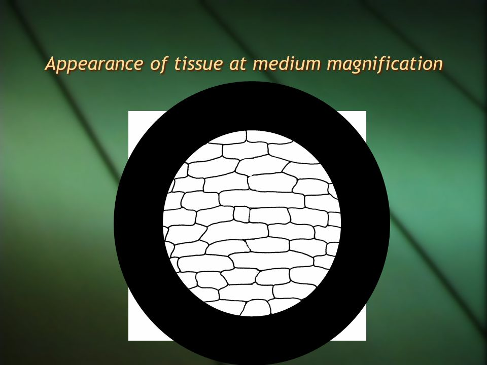 Appearance of tissue at medium magnification