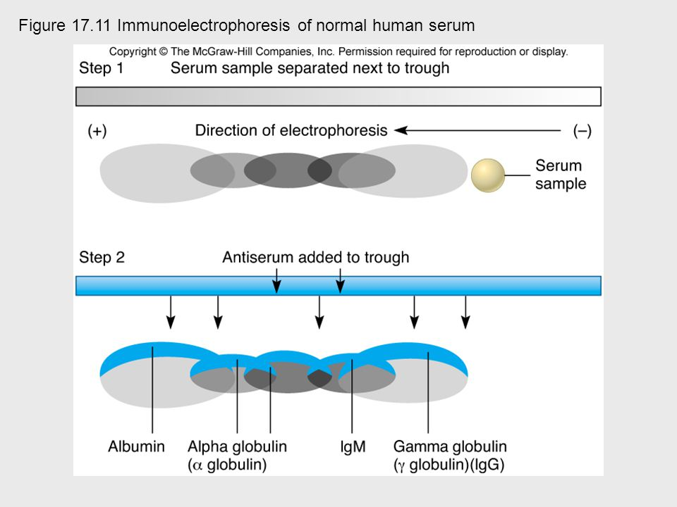 Figure 17.11 Immunoelectrophoresis of normal human serum